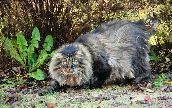 Freyja's fressa: A car drawn by cats?